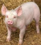 Pig #1